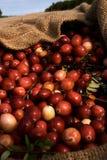 Cranerries cosechado en bolso de arpillera Imagenes de archivo