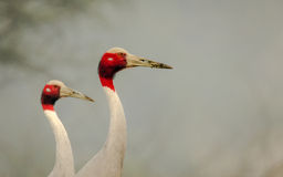 Cranes in beautiful pose Stock Photography