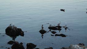 Cranes in California. A picture of cranes on rocks in California at a beach near Carmel by the Sea taken during a daytrip on vacation in the fall Stock Photo
