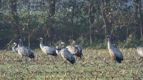 Cranes in a corn field stock video footage