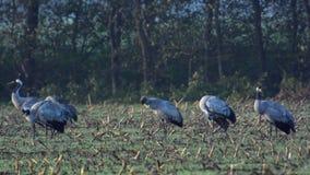 Cranes in a corn field stock video