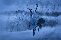 Cranes cry Royalty Free Stock Photo