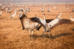 Cranes dancing. Common cranes dancing, Grus grus Royalty Free Stock Photo