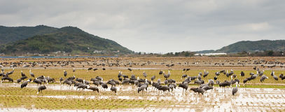 Cranes Feeding in Rice Paddy Stock Photos