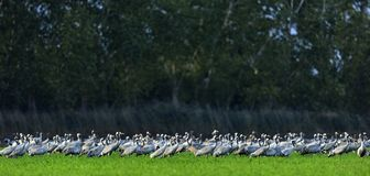 Cranes in a field. Common Crane, European Crane, Grus grus. Stock Photo