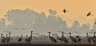Cranes in a field foraging. Common Crane, Grus grus.