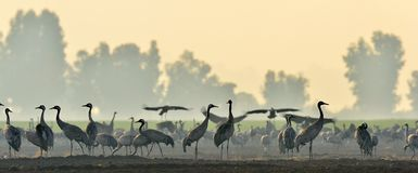 Cranes in a field foraging. Common Crane, Grus grus. Cranes in a field foraging. Common Crane, Grus grus, big bird in the natural habitat. Feeding of the cranes stock photography