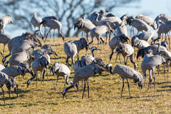 Cranes on a field Royalty Free Stock Photos