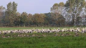 Cranes in field near the Guenzer See, Germany stock video