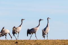 Cranes on the field Stock Photo