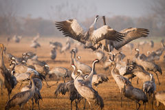 Cranes fighting royalty free stock photo