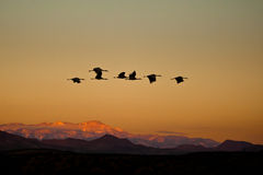 Cranes In Flight Royalty Free Stock Photography