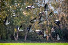 Cranes in flight. Eurasian Crane, Scientific name: Grus grus, Grus communis. Cranes in flight. Common Crane or Eurasian Crane, Scientific name: Grus grus, Grus royalty free stock photos