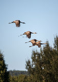 Cranes in Flight Royalty Free Stock Photos