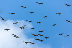 Cranes in Flight Royalty Free Stock Photo