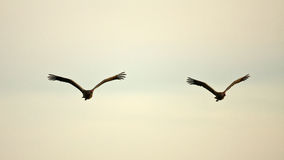 Cranes in Flight Stock Images