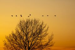 Cranes that fly in the evening light. Over a tree Royalty Free Stock Image