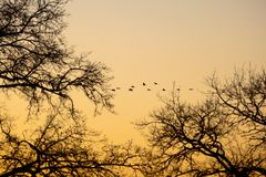 Cranes that fly in the evening light Stock Images