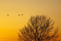Cranes that fly in the evening light. Over a tree Royalty Free Stock Images