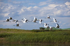 Cranes flying royalty free stock images