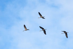 Cranes flying Royalty Free Stock Photo