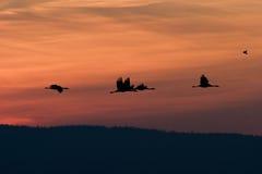Cranes flying at dawn Stock Image