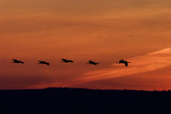 Cranes flying at dawn Royalty Free Stock Images