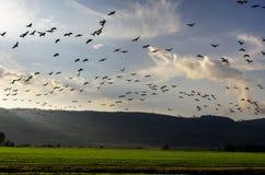 Cranes flying at nature Stock Photos