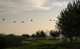 Cranes flying at nature at dusk Royalty Free Stock Image