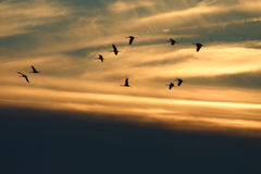 Cranes flying in sunset clouds. Whooping cranes flying with sunset cloud background Stock Photos