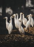 Cranes gang standing at dry fishes land stock photography
