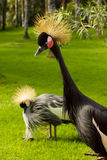 Cranes on green lawn Stock Photography