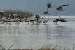 Cranes(Grus grus) Royalty Free Stock Photography