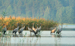 Cranes(Grus grus) Royalty Free Stock Photos