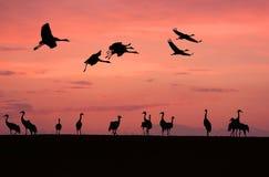 Cranes ( Grus grus ) Stock Photo
