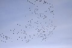 Cranes (Grus grus), bird migration in November, Germany Stock Photo
