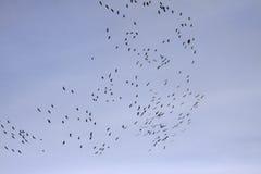Cranes (Grus grus), bird migration in November, Germany Stock Photo