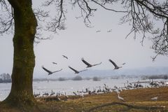 Cranes flying over the lake. stock photos