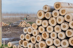 Cranes for logs and woodpiles. Cutting of poplars, crane log and woodpiles Stock Photo