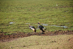 Cranes in The Maasai Mara National Reserve, Kenya Royalty Free Stock Photo