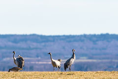 Cranes on the meadow Stock Image