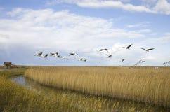 Cranes migrate Stock Photo