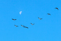 Cranes and moon Stock Photo