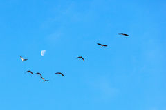 Cranes and moon in the sky Royalty Free Stock Image