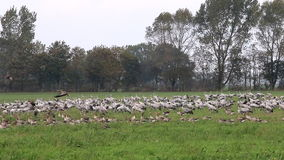 Cranes near the Guenzer See, Germany stock video