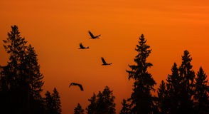 Cranes over forest Stock Image