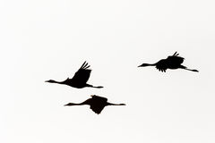 Cranes in silhouette Stock Image