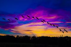 Cranes flying in magnificent evening sky with violet and orange clouds. Cranes in sky with colorful clouds in ultra violet and orange. Sunset behind forest stock photo