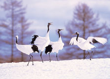 Cranes in snowscape Royalty Free Stock Images