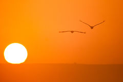 Cranes and sun. Cranes in flight and sun, Grus grus Royalty Free Stock Photo